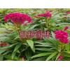 室外花卉租赁费用-供应各种规格室内花卉