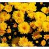 成活率高的园林植物批发 国庆菊价格